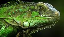 green-iguanas