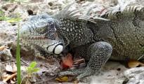 curacao-iguana-close-up (1024x750)