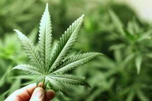 marijuana-leaf1