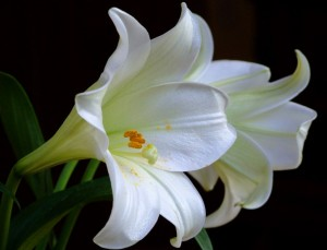 beautiful white lily flower