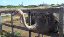 curacao-ostrich-and-game