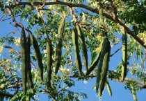 moringa-seed-pods