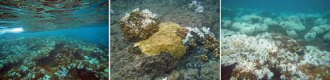 Figure 2. Pictures taken on 13 Sept 15 shows the bleaching of branching corals