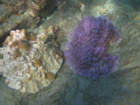 Picture above shows how corals with different colors are affected at different rates by bleaching.