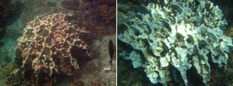 Picture on left was taken before July 2015 and to the right is the picture of the same coral taken on 10 Jan 16. As of 25 March 2016 this coral could not be found