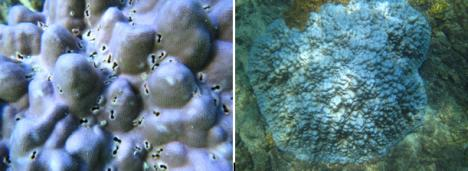 Figure 3. Pictures from 10 Jan 16 showing the changing color of the Porites coral from purple to a brilliant blue, likely due to change in the color of the symbiotic algae due to a different species of symbiont or a change in the pigments of the algae already present in the coral