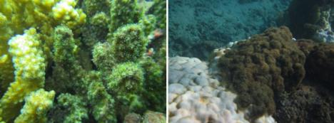 Figure 4. Pictures taken on 10 Nov 15 and 10 Jan 16 showing algae growing on the coral skeleton of the branching stony coral (left) and a Porites coral (right) confirming mortality