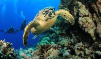 hawksbill-turtle-scuba-diving