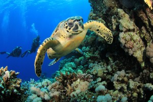 hawksbill-turtle-scuba-diving