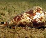 Conus-regius-sea-snail