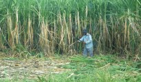 1390591060-sugarcane-1