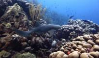 Oostpunt-koraal-Carmabi