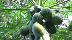 papayas1