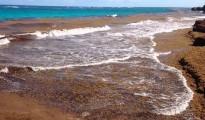 sargassum-seaweed