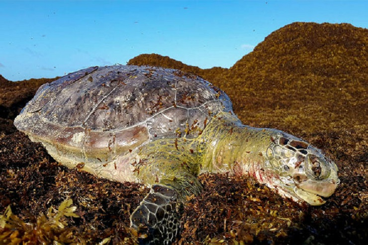 turtle-seaweed